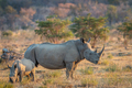 White rhino and baby calf standing in the grass. - PhotoDune Item for Sale
