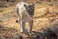 Lioness walking towards the camera. - PhotoDune Item for Sale