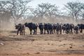 Big herd of African buffalos on an open plain. - PhotoDune Item for Sale