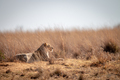 Lioness laying in the high grass. - PhotoDune Item for Sale