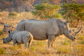 White rhino mother and baby calf in the grass. - PhotoDune Item for Sale