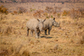 Two White rhinos standing in the grass. - PhotoDune Item for Sale