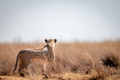 Lioness scanning the surroundings. - PhotoDune Item for Sale