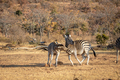 Two Zebras fighting on a plain. - PhotoDune Item for Sale