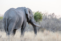 Big Elephant bull facing away from the camera. - PhotoDune Item for Sale