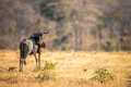Blue wildebeest standing in the grass. - PhotoDune Item for Sale