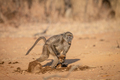 Chacma baboon running away with a block of food. - PhotoDune Item for Sale