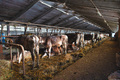 Large barn with cows - PhotoDune Item for Sale