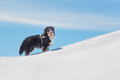 Dog Bernese Mountain Dog - PhotoDune Item for Sale