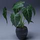Alocasia 3D Pot plant - 3DOcean Item for Sale
