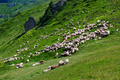 Sheep Flock On Mountain In Summer - PhotoDune Item for Sale