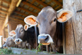 Cows eat from the manger in the stable - PhotoDune Item for Sale