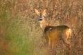Roe deer - PhotoDune Item for Sale