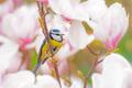 Blue tit bird in a Magnolia tree - PhotoDune Item for Sale