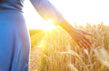 Female hand touching wheat on the field in a sunset light - PhotoDune Item for Sale