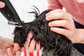 Shaving dogs face at home. Groomer cutting fur of small black schnauzer - PhotoDune Item for Sale