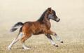 American miniature horse. Bay foal in motion. - PhotoDune Item for Sale