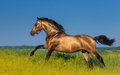 Golden bay Andalusian horse in blooming meadow. - PhotoDune Item for Sale