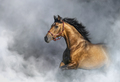 Andalusian horse in halter in light smoke with space for text. - PhotoDune Item for Sale