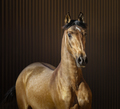 Golden dun young Spanish horse on striped background. - PhotoDune Item for Sale