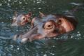 hippo - PhotoDune Item for Sale