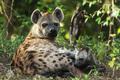hyena - PhotoDune Item for Sale