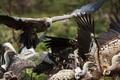 vulture - PhotoDune Item for Sale
