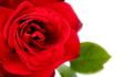 Macro of red rose - PhotoDune Item for Sale