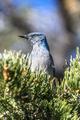 A blue scrub jay bird in tree - PhotoDune Item for Sale