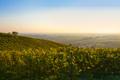 Wine field panorama - PhotoDune Item for Sale