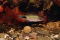 Cyprinid fish Enteromius rohani in freshwater aquarium - PhotoDune Item for Sale