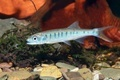 Senegal minnow Raiamas senegalensis in freshwater aquarium - PhotoDune Item for Sale