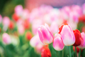 Pink tulip in winter - PhotoDune Item for Sale
