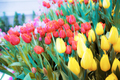 Colorful of tulip in winter - PhotoDune Item for Sale