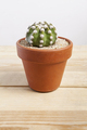 Echinopsis dominos cactus plant in a pot - PhotoDune Item for Sale