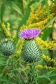 Pink milk thistle flower - PhotoDune Item for Sale