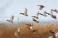 Flying mallards - PhotoDune Item for Sale
