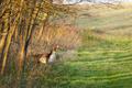 Fallow deer - PhotoDune Item for Sale