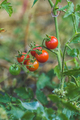 Cherry tomatoes in a garden. - PhotoDune Item for Sale