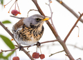 Fieldfare bird sitting on a tree - PhotoDune Item for Sale