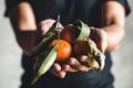 Ripe juicy sweet orange mandarins in a human hand against a dark background. PNOV2019 - PhotoDune Item for Sale