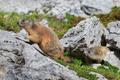 Alpine marmot (Marmota marmota) on rock - PhotoDune Item for Sale