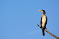 Great cormorant - PhotoDune Item for Sale