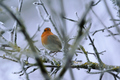 European robin - PhotoDune Item for Sale