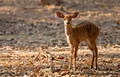 young nyala standing alone and watching someting - PhotoDune Item for Sale