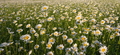 Spring daisy flowers texture. - PhotoDune Item for Sale