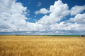 Meadow of wheat. - PhotoDune Item for Sale