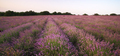 Meadow of lavender at sunset. - PhotoDune Item for Sale
