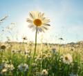 Spring daisy portrait and sunshine. - PhotoDune Item for Sale