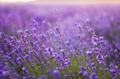 Beautiful Violet Lavender Field Agriculture - PhotoDune Item for Sale
